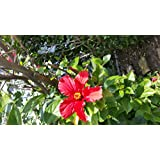 15+ Red Wonder Tropical Hibiscus Seeds