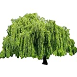 Weeping Willow Tree - Salix babylonica - Heavy - Established - Roots 1 Trade Gallon Pot - 1 Plant by Growers Solution (Color: green)