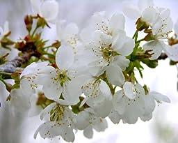 Chastity Fine Art Photograph Plum Blossoms by Sindi Short 16x20 Movable Print