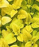 5 Golden Lemon Balm herb Plants