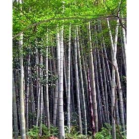 100 2000 semi bambusa bambos bambusa arundinacea bamb for Semi bambu gigante