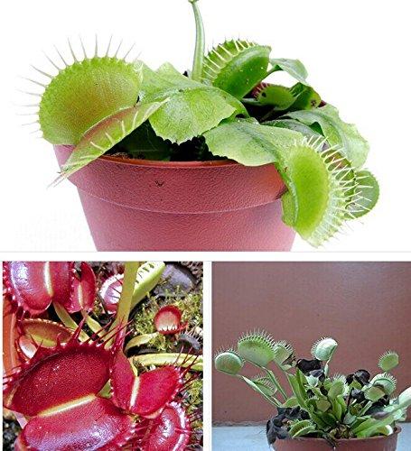 Venus Flytrap – Fly Trap – Dionaea Muscipula Carnivorous ...