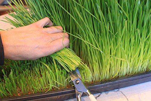 Certified Organic Wheatgrass Growing Kit - Grow & Juice Wheat Grass: Trays, Seed, Soil, Mineral Fertilizer & More (Organic Wheatgrass Seeds compare prices)
