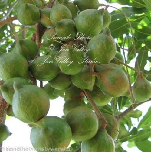 macadamia-integrifolia-prized-nut-tree-seeds-white-flowers-container-or-standard