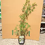 Acer palmatum Seiryu - Approx 60cm tall - Grown in a 2 litre pot - Japanese Maple - Acer Shrub Trees Gift Present