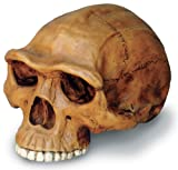 H. Erectus Cranium