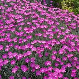 Amazon.com : Outsidepride Dianthus Cheddar Pink - 1000