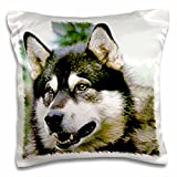 Dogs Alaska Malamute - Alaska Malamute - 16x16 inch Pillow Case (pc_466_1)