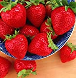 25 Evie Everbearing Strawberry Plants - BEST BERRY! - Bare Root Plants