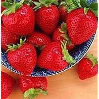 Organic Temptation Everbearing Strawberry Plant - 4