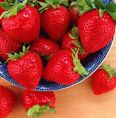 25 Tribute Everbearing Strawberry Plants - BEST BERRY!