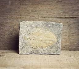 Golden Trilobite Fossil Specimen 2-3\