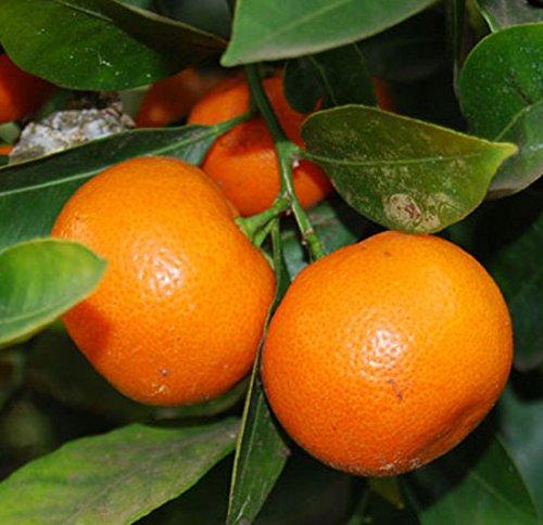 citrus-mitis-calamondin-orange-tree-17cm-pot-size