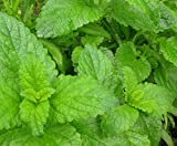 Lemon Balm Herb 100 Seeds - GARDEN FRESH PACK!