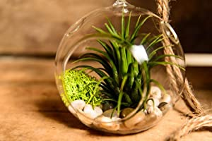 Hinterland Trading Air Plant Tillandsia Bromeliads Terrarium Kit with Pebbles and Moss Great Little Houseplant