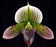 Paph Mr Wonderful ladyslipper orchid…