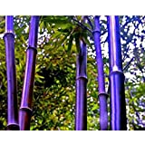 Rare Purple Bamboo Seeds Decorative Garden Lucky Bamboo Garden Plants Seeds - 10pcs/lot