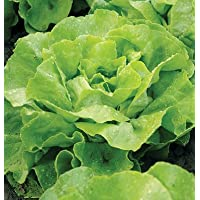 Pelleted Seeds Lettuce Mirlo D3882PA (Green) 100 Organic Seeds by David's Garden Seeds