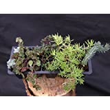 A Collection of 10 Sedum Plants - named varieties