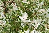 Salix integra 'hakuro nishiki' (Flamingo willow, dwarf Japanese willow) 3 ltr pot