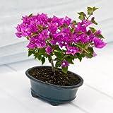 Beautiful Bougainvillea Bonsai - Live Plant - Green Gift - Live Flowers - Fresh Flowers - Bonsai Tree - Ships Fast - 2nd Day Express