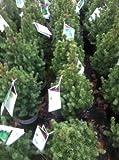 Dwarf Alberta Spruce (Picea glauca 'Conica')