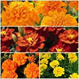 Biocarve French Marigold Flower Kit - 4 Packets