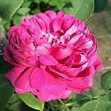 Rose de Resht Strauchrose