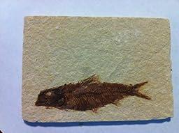 Knightia Alta Fossil Fish in Matrix