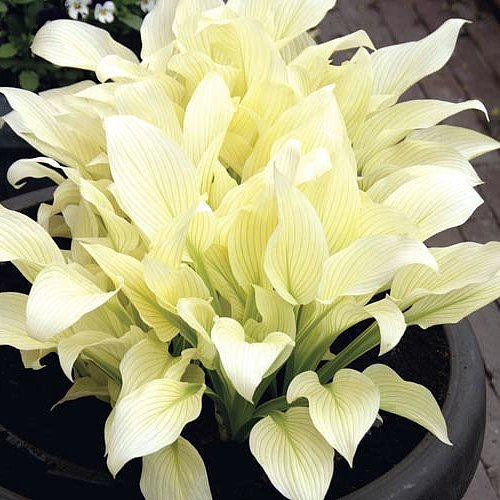 White Feather Hosta - UNBELIEVABLE! - NEW! -RARE! - 4