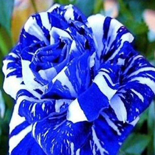1-pack-20pcs-dragon-rose-flower-seeds-garden-plants-seeds-flower-seed-blue
