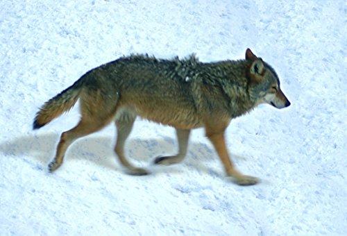 Gift Trenz Wolf- Motion Magnet - 1
