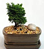 Miniature Japanese Hinoki Cypress Bonsai - Glazed Ceramic Pot - Indoors/Out