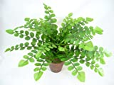 38cm Potted Artificial Silk Button Fern (Pellaea Rotundifolia) Plant ~ Office Plant with Pot ~ Home & Conservatory Decoration