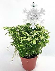 """Frosty Fern Spike Moss - Selaginella - Easy to Grow - 4"""" Pot"""