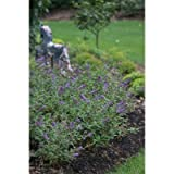 Lo & Behold ® Blue Chip - Butterfly Bush - Buddliea - Proven Winners - 1 Qrt Pot