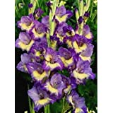 Excellent Purple Passion Mixed Gladioli (10) Beautiful Flowering Perennials, Easy to Grow Sword Lily Gladiolus Bulbs - clarence