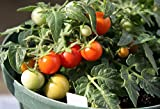 Micro Tom Tomato 15 Seeds - Worlds Smallest
