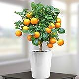 Mini Orange Tree 40cm with fruit - 1 tree