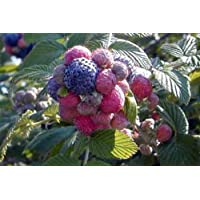 Mysore Raspberry - Potted - Snowpeaks, Ceylon or Hill Raspberry
