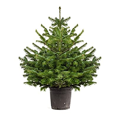 Pot Grown Norway Spruce Living Christmas Tree 1-1.2M tall