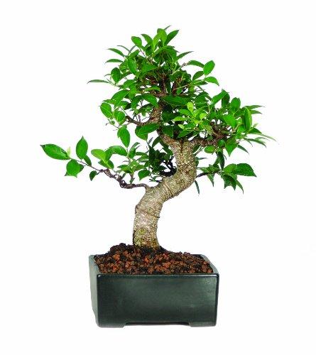 Buy Brussel s Golden Gate Ficus BonsaiB0000DGF9V Filter