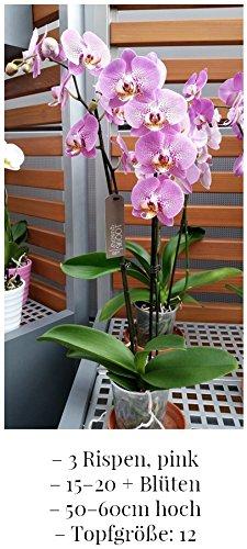 phalaenopsis-orchidea-rosa-3-chiodi-min-15-fiori-dimensioni-del-piatto-12-50-60cm-alta