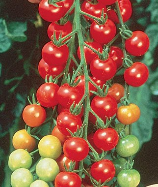 Supersweet 100 Hybrid Tomato 200 Seeds By Jays Seeds (Hybrid Tomato Plants compare prices)