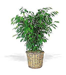 amazon com ficus bush fresh flowers and live indoor