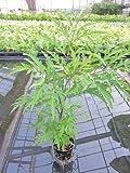 水耕栽培 苗 モミジバポリシャス(ミドル)