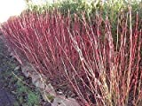 3 Red Dogwood 2-3ft Hedging Plants,Beautiful Red Bark Cornus Alba Sibirica