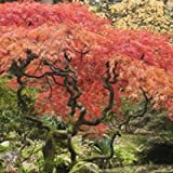 Red Dragon Japanese Maple (Tamaño: 1-2 ft.)