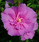 Amazon / Hirt's Gardens: Lavender ChiffonTM Hibiscus syriacus Notwoodone - Rose of Sharon - Proven Winners