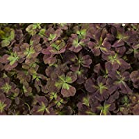 Coco Mint Glow Shamrock 4 Leaf Clover -Trifolium - Indoors or Out - 4